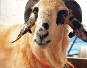 Goat Farming in Bangalore | Goat Farming in Karnataka